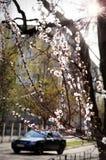 Een kersenboom bloeit dichtbij de weg Stock Foto