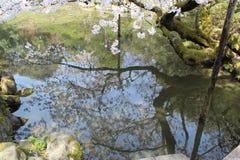 Een kersenboom in bloem wordt weerspiegeld in een vijver (Japan) Stock Foto