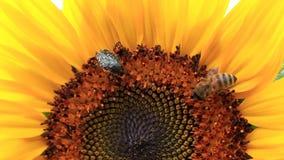 Een kever, een bij en een mier stock video