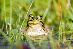 Een kikker in een vijver royalty-vrije stock afbeelding