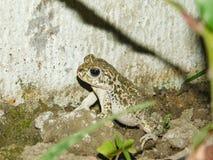 Een kikker op een gebied in een nachtschot Stock Foto's