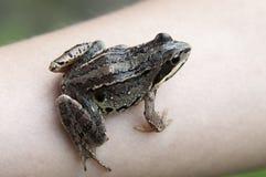 Een kikker op een hand Stock Foto