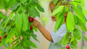 Een kind lanceert een tearing kersenboom een bes en het kauwen van het stock video
