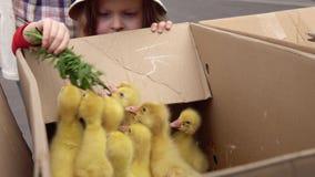 Een kind voedt gele gansjes met paardebloembladeren stock video
