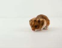 Een Klassiek Gouden Hamsterhuisdier Royalty-vrije Stock Foto