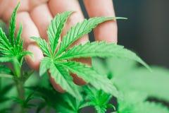 Een klein cannabisblad in de handen van een mannelijk macroschot Royalty-vrije Stock Fotografie