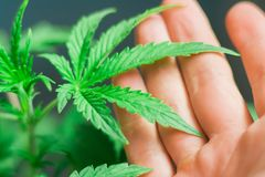 Een klein cannabisblad in de handen van een mens is het concept het toepassen van medische marihuana Royalty-vrije Stock Afbeelding