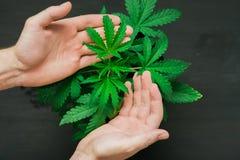Een klein cannabisblad in de handen van een mens is het concept het toepassen van medische marihuana Royalty-vrije Stock Foto