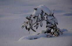 Een klein die jong boompje neer door sneeuw wordt gewogen Stock Foto's