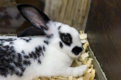 Een klein Engels bevlekt konijn ligt in de kooi stock afbeeldingen
