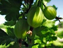 Een klein groen fruit stock afbeelding