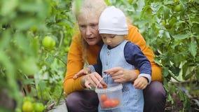 Een klein kind onderzoekt tomaten in een serre stock footage