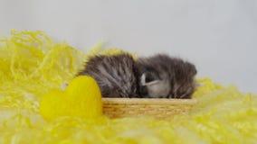 Een klein mooi rasecht katje zit in een stromand met een geel hart scotsman stock video