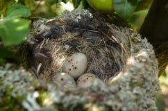 Een klein nest drie kleine eieren Stock Fotografie