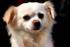 Een klein puppy bekijkt me Royalty-vrije Stock Afbeelding
