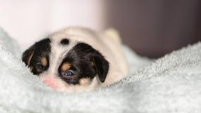 Een klein puppy, Jack Russell Terrier, opende voor het eerst zijn ogen en ziet de wereld op de ogen De hond ligt op zacht stock foto