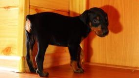 Een klein puppy loopt onhandig op de vloer stock footage
