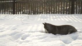 Een klein puppy van het Schor ras loopt in openlucht op een zonnige dag stock footage