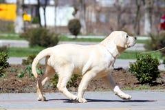 Een klein puppy van Labrador in het park Stock Foto's
