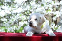 Een klein puppy van Labrador in het park in de lente Royalty-vrije Stock Foto