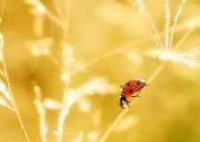 Een klein rood onzelieveheersbeestje loopt rond de installatie in mijn tuin stock afbeeldingen