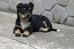Een klein zwart puppy met witte borst en bruine poten zit op de vloer stock foto