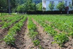 Een kleine aanplanting van struiken van een jonge carofel op de binnenplaats Cultuur van landbouwgewassen Seizoengebonden install royalty-vrije stock foto