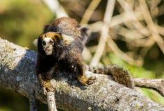 Een kleine aap van Brazilië Royalty-vrije Stock Fotografie