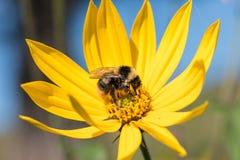 Een kleine bij verzamelt nectar van een artisjok van bloemjeruzalem i stock foto's