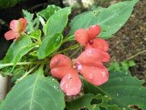 Een kleine bloemspecies in Sri Lanka royalty-vrije stock afbeelding