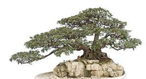 Bonsai op wit royalty-vrije stock afbeelding