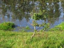 Een kleine boom op de bank van een meer Stock Afbeelding