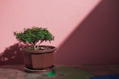 Een kleine boom in pot en op de lijst Stock Foto
