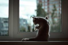 Een kleine Britse katjeszitting bij het venster op de achtergrond van de avondstad Voorbenenrust tegen het glas stock foto
