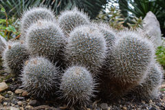 Een kleine cactus Stock Afbeeldingen