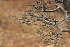 Een Kleine Chinese bonsaiboom op een bruine bladerenachtergrond Stock Fotografie