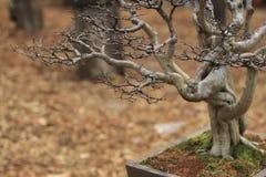 Een Kleine Chinese bonsaiboom op een bruine bladerenachtergrond Stock Afbeeldingen