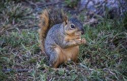 Een kleine eekhoorn Stock Foto