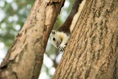 Een kleine eekhoorn hangt op de boom en het eten van pinda Stock Afbeeldingen