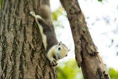 Een kleine eekhoorn hangt op de boom en het eten van pinda Royalty-vrije Stock Afbeeldingen