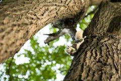 Een kleine eekhoorn hangt op de boom en het eten van tomaat Stock Foto's