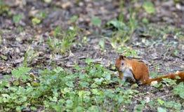 Een kleine eekhoorn loopt door een stoep in een de herfstpark stock afbeeldingen