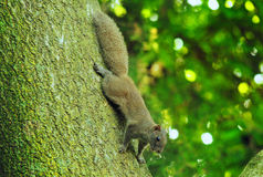 Een kleine eekhoorn op een grote boom Stock Foto's
