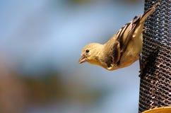 Een kleine geel-doen zwellen Vogel op een voeder stock afbeelding