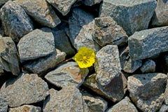 Een kleine gele bloem nam onder de stenen toe stock foto's