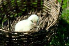Een kleine gele kip in een rieten mand Groen gras, de lente s Royalty-vrije Stock Foto's