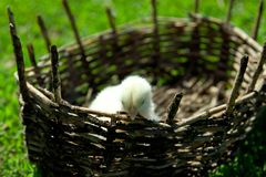 Een kleine gele kip in een rieten mand Groen gras, de lente s Royalty-vrije Stock Foto