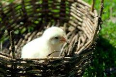 Een kleine gele kip in een rieten mand Groen gras, de lente s Royalty-vrije Stock Fotografie