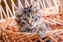 Een kleine gestreepte vrolijke kat kijkt uit basket_ royalty-vrije stock afbeeldingen