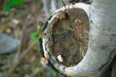 Een kleine groene spar groeide door de rotte boom Royalty-vrije Stock Afbeelding